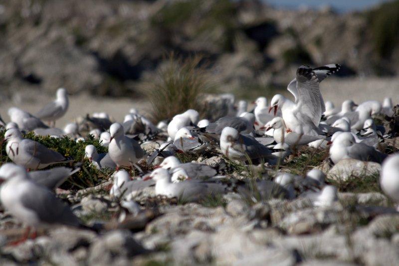 Redbilled Gull Colony on Kaikoura Peninsula