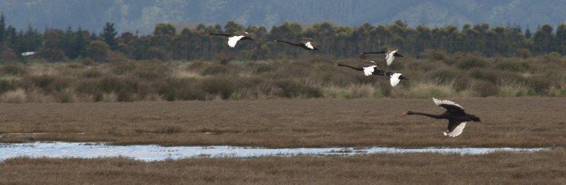 Black Swans at Wairau Lagoon Wetland Reserve