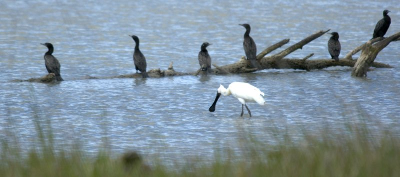 Royal Spoonbill and Pied Shags at Wairau Lagoon Wetland Reserve