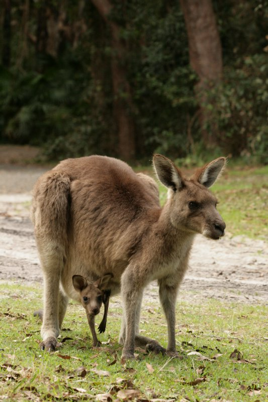 Eastern Grey Kangaroo in Hat Head NP