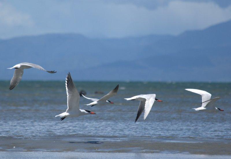 Caspian Terns at Farewell Spit