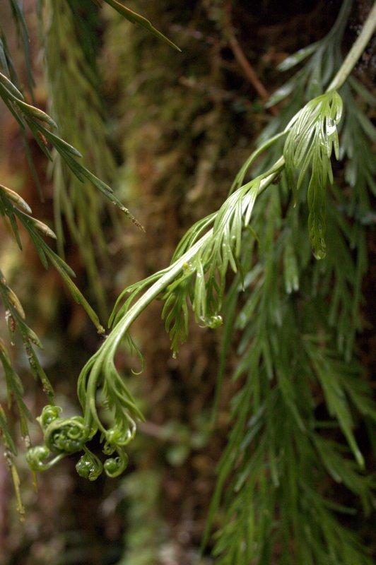 Hanging Spleenwort Fern in Oparara Basin