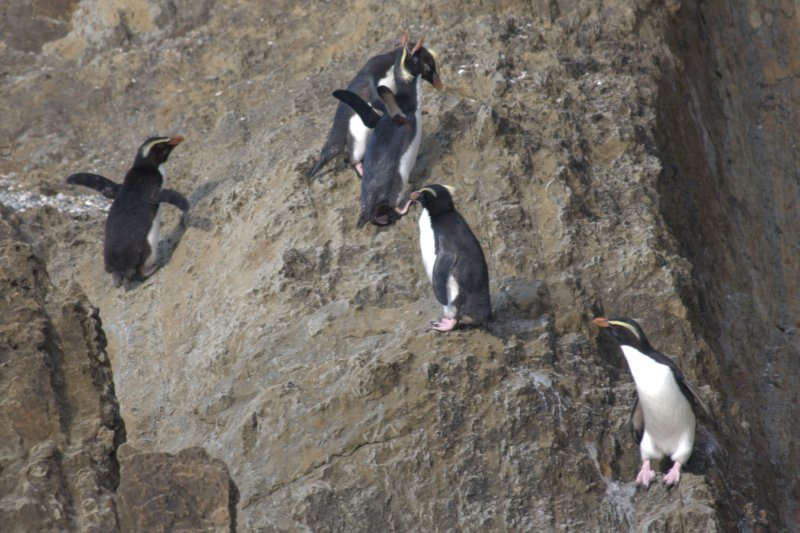Fiordland Crested Penguins on Monroe Beach