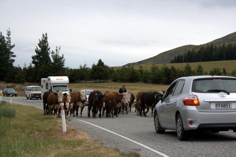 Herding Stock up Makarora Lake Hawea Rd
