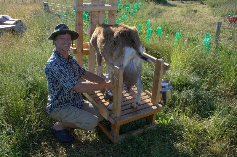 Dom Milking Goat