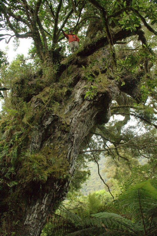 Huge Hollow Beech Tree near Hollyford Camp