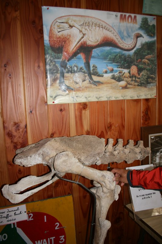 Moa Bones in Museum at Hollyford Camp