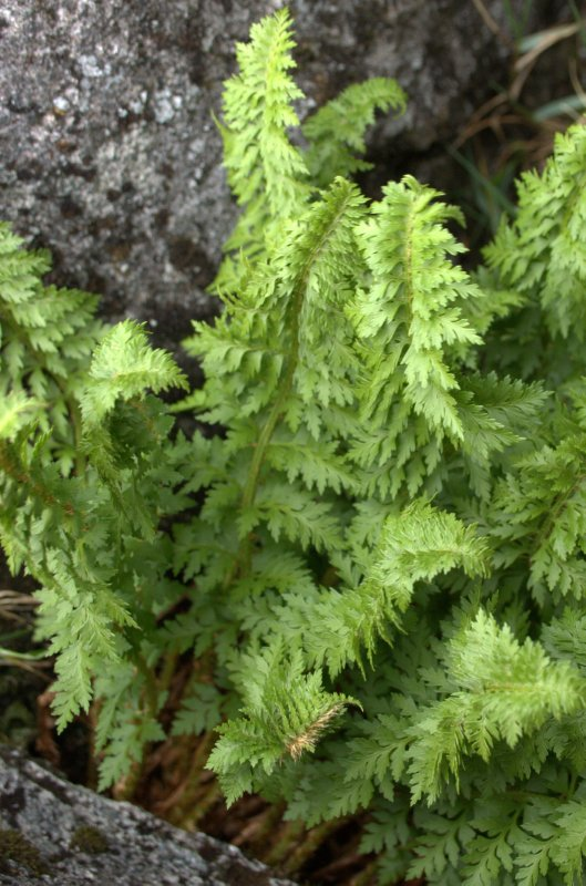 Alpine Fern - Gertrude Valley