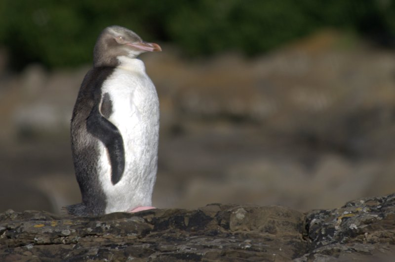 Yellow-Eyed Penguin at Petrified Forest