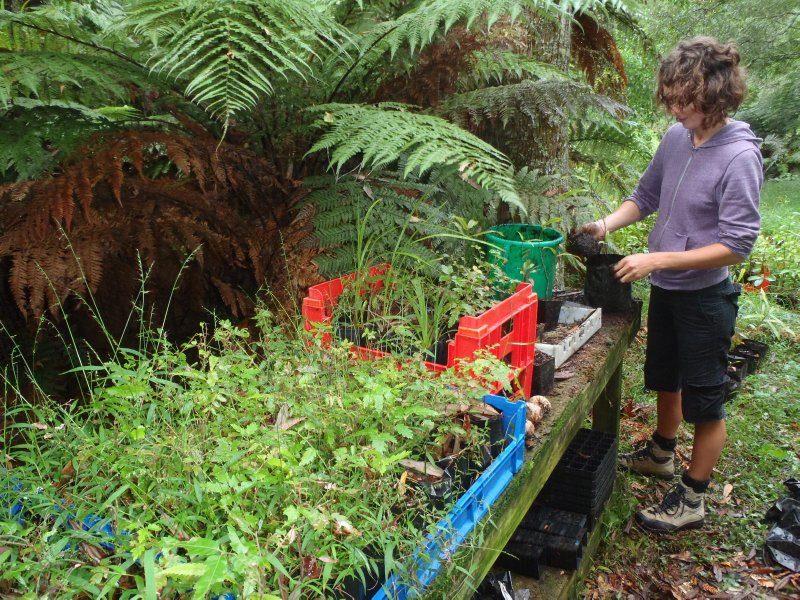 Julie Re-Potting Native Trees