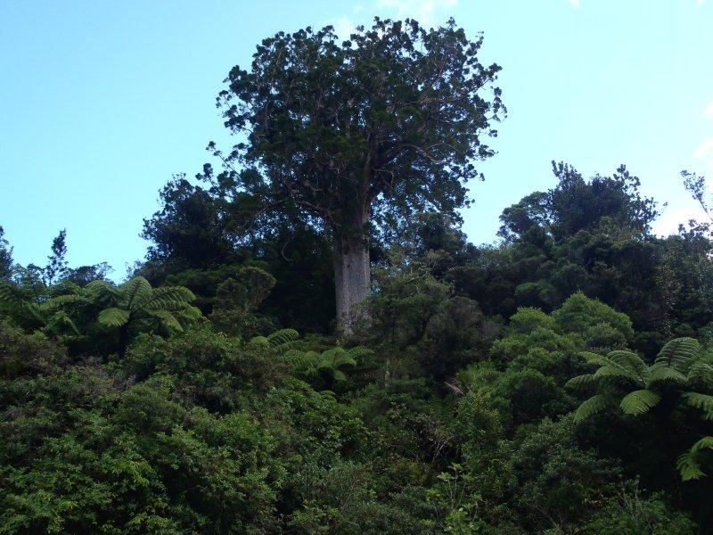 Square Kauri