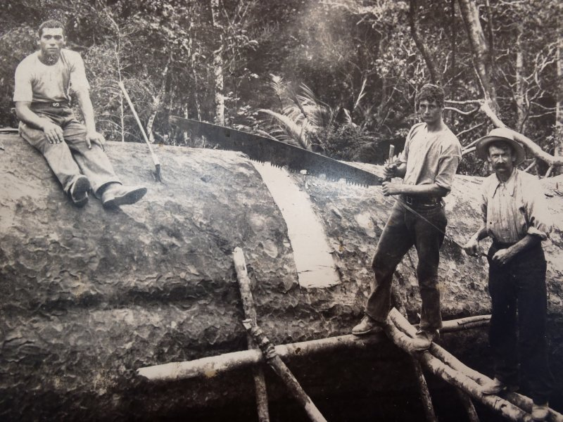 Old Kauri Logging Picture