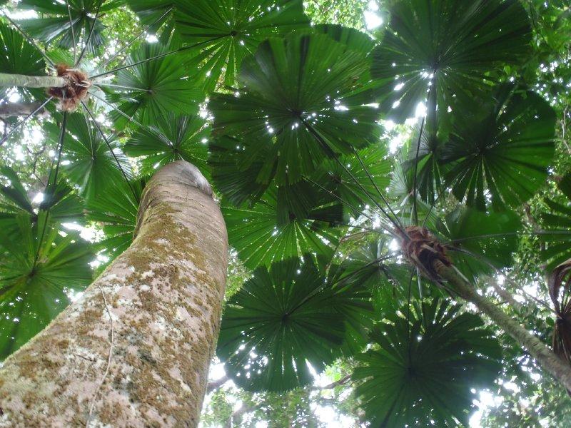 Fan Palms along Trail
