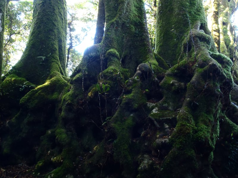 Antarctic Beech Tree in Springbrook NP