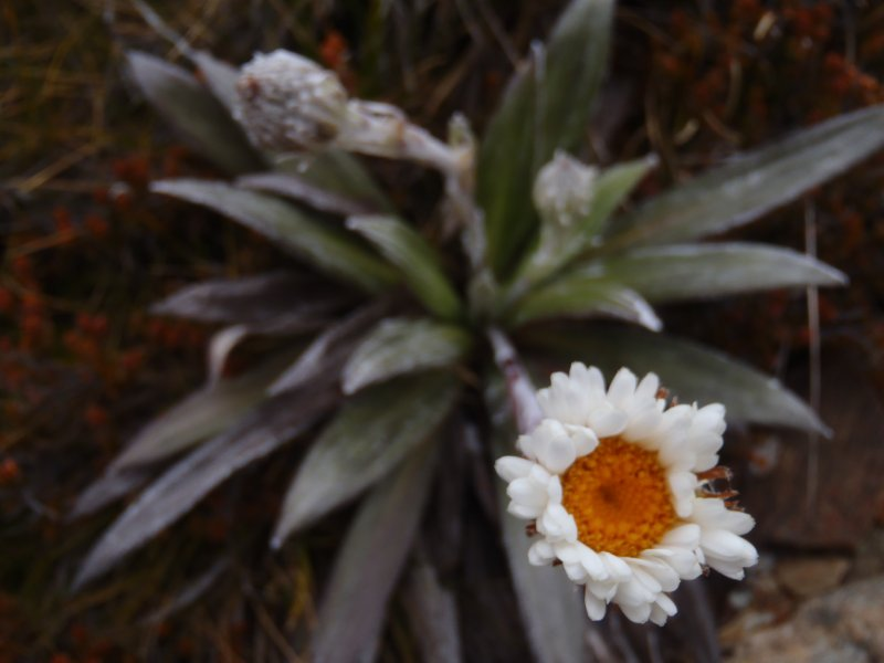 Alpine Flower on Boulder Lake Trek