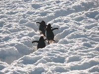 Penguins hiking up their track