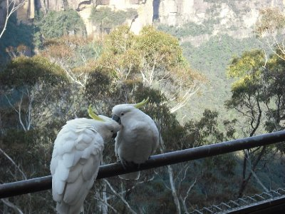 Huge Cockatoos in The Blue Mountains