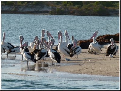 Pelicans at the mouth of the creek