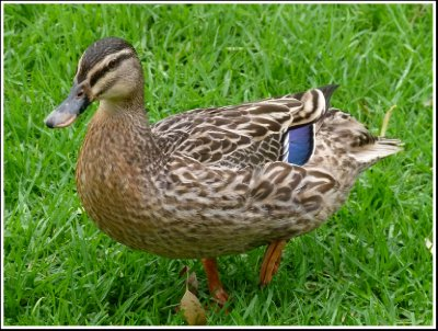 The Other Breed of Duck