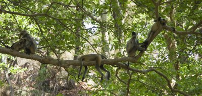 Langurs hanging out