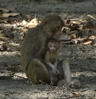 Macaque family