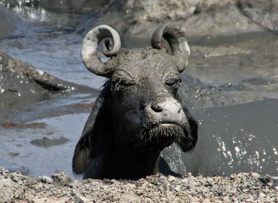 On the Road: Mickey-Mouse-eared Buffalo enjoying the mud bath!