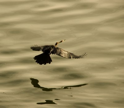 Snakebird takes off over the water