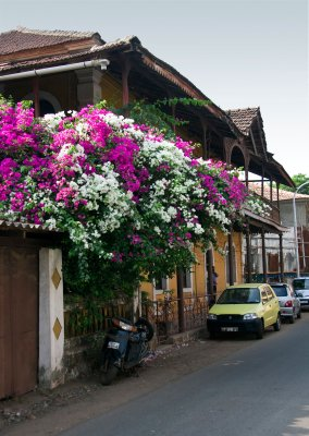 Beautiful bougainvilla in the Latin Quater of Panaji
