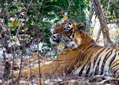 Finally my first tiger in Ranthambore!