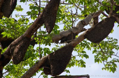 Tree filled with so many honey bee hives! More than I've seen before.