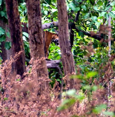The only tiger we spotted this trip in Kanha & really far away, climbing a tree tho!
