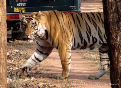 We call him Frank! A blue-eyed tiger in Bandhavgarh!
