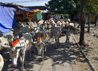 Decorative Donkeys at top of Pavagadh Hill