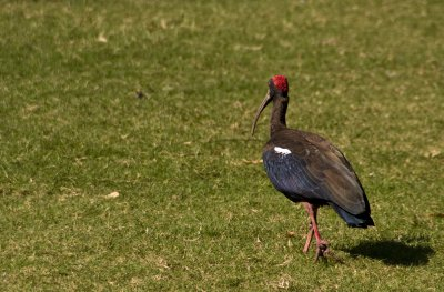 Colourful black ibis at a step-well garden