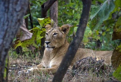 Lioness relaxing in the forest