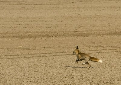 Desert fox fleeing to a safe distance before posing.