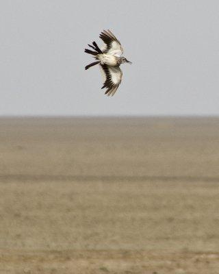 Hoopoe Lark