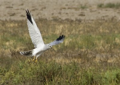 Pallid Harrier in the desert