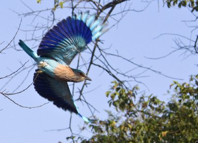 Indian Roller flies by