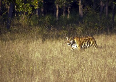 Out of the woods, comes the Sukhi Patiha cub