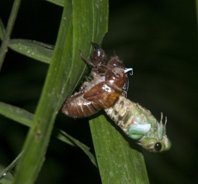 Moulting Cicada