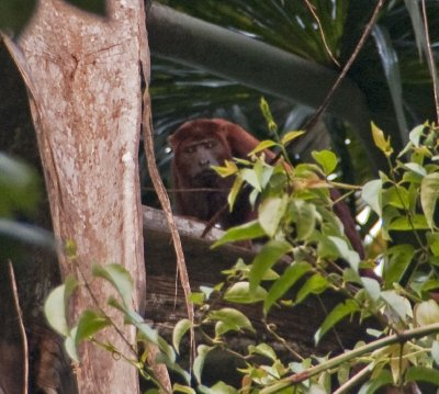 Howler monkey in the treetops