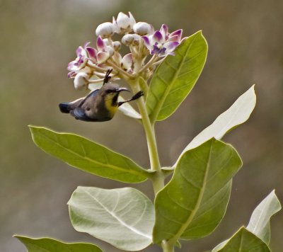 Purple Sunbird on a milkweed