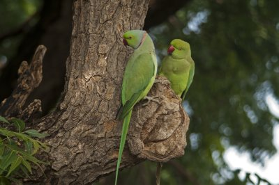 Rose-ringed Parakeet couple sitting by their nest