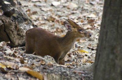 Male Barking Deer
