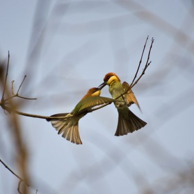 Chestnut-headed Bee-eaters having a heated discussion