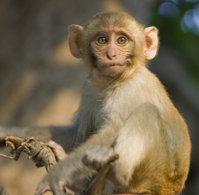 Fed up baby macaque