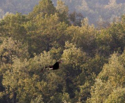 Palas's Fish Eagle