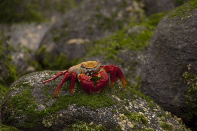 Sally Lightfoot Crab - sitting on rocks everywhere in the Galapagos
