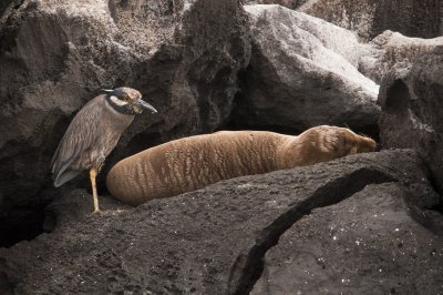 Yellow Crested Night Heron & Galapagos Sea Lion
